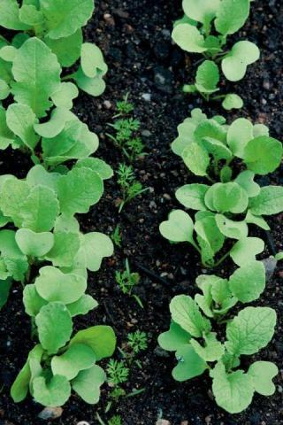 radish interplanted with carrots